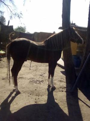 Vendo hermosos caballos