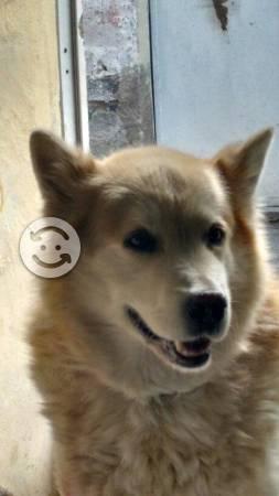 Busco: Perro Alaska macho busca pareja