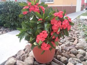 Planta corona de cristo rosada