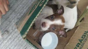 cachorras chihuahuas en adopcion.