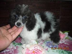 French poodle blanca con negro pequeña