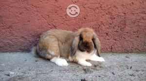Conejos Hembra Belier