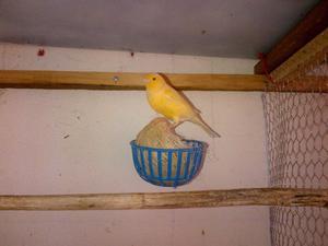 Canarios, Periquitos, Ninfas.
