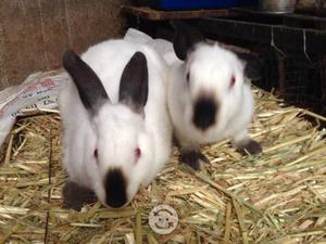 Conejos California, mariposa, azteca