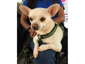 Copo, Chihuahua en adopción