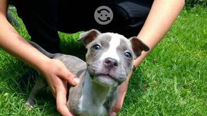 Cachorros American Pitbull Bully Blue