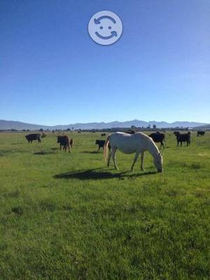 Venta vacas de lidia