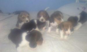 Bonitos perros beagles