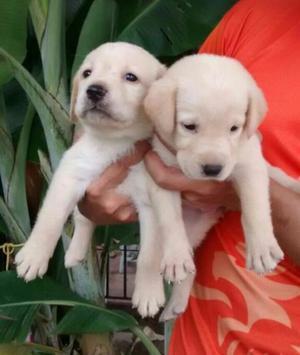 Labrador color Paja