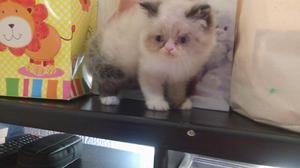 Gatos persa en morelia
