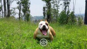 Cachorra bully pocket v/c por hembra bulldog ing