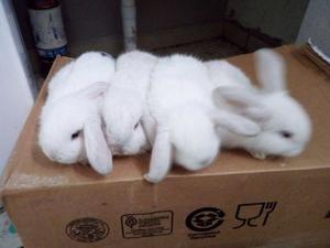 Vendo conejos mini lop