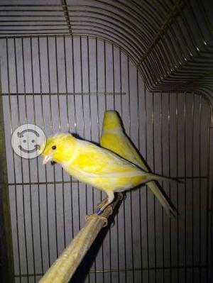 Pareja de canarios moña alemana