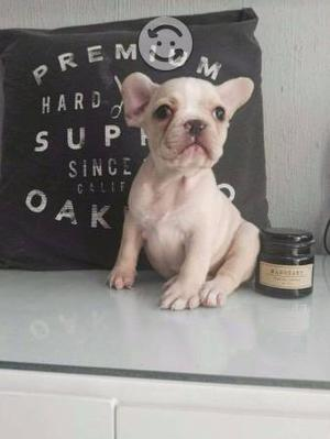 Bulldog Frances hembra fawn pedigree internacional