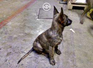 Cachorros pastor holandés legítimos