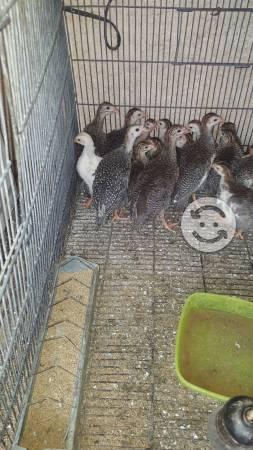 Coquenas o gallinas de guinea