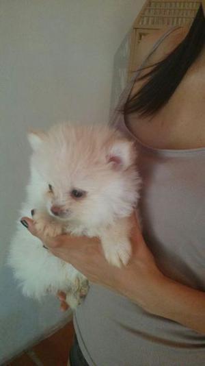 Pomeranian - Anuncio publicado por Carmen