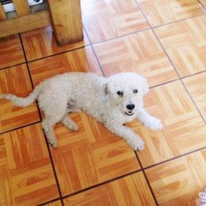 Quiero dar en adopcion a mi french poodle