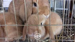 Venta de conejos Belier