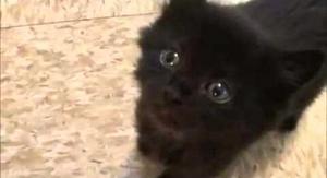 gatos angora black