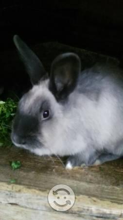 Conejos para pie de cria o canal