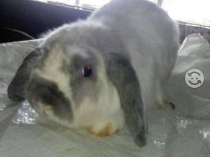 Semental de conejo belier
