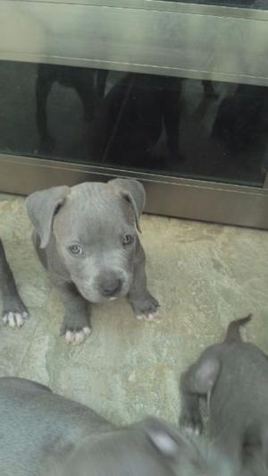 AMERICAN BULLY BLUE CACHORROS DE REMATE