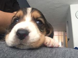 Perros Basset hound!!!!