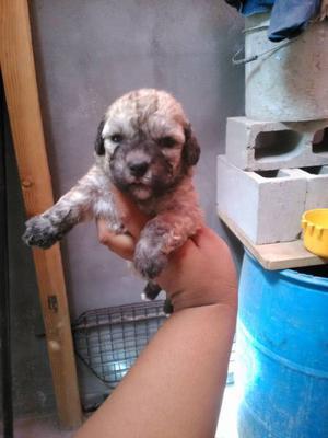 vendo cachorritos french poodle tiene 4 semanas