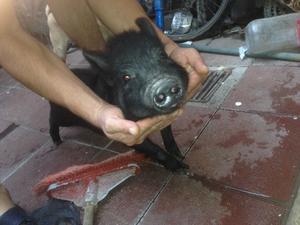 venta de puerquita mini pig