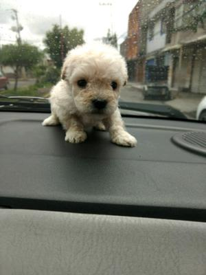 Mini french poodle lindos