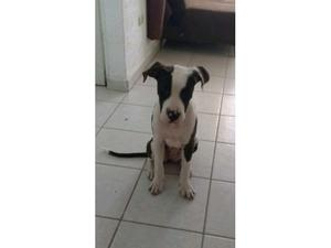 Perrita Pitbull en adopción