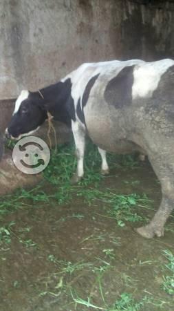 Vacas lecheras cargas