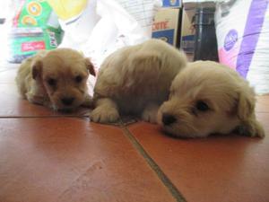 Cachorros fresh poodle