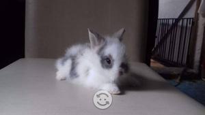 Conejito angora