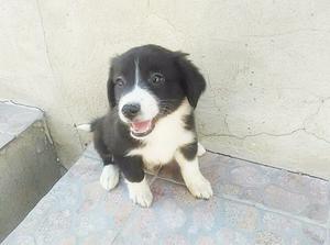 Último cachorro border collie