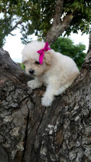 cachorritos french poodle