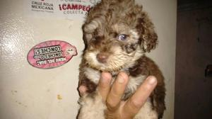 Se venden French poodle con maltés machos!
