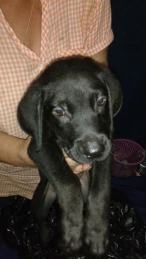 Cachorros Labrador (labrador retriver)