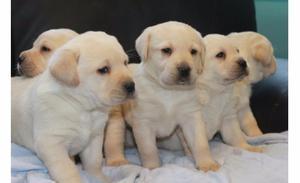 Labrador cachorros dorados y blancos.