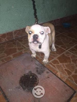 Bulldog inglés cachorrro