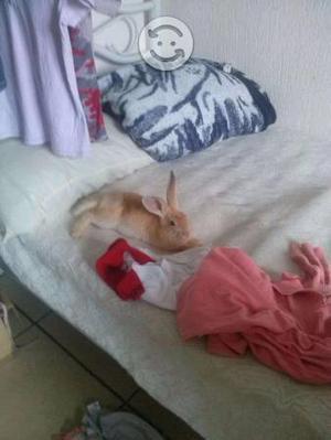 Conejo nueva zelanda rojo