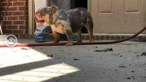 Hembra bulldog ingles 9 meses