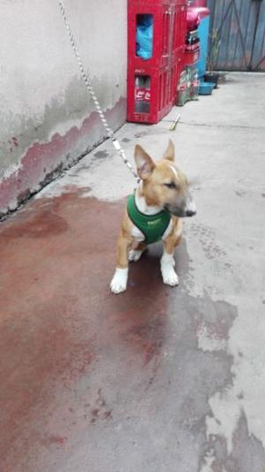 Venta de cachorros bull terrier inglés