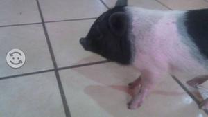Cerdita Vietnamita Mini pig