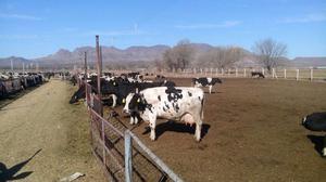 Vacas lecheras en producción