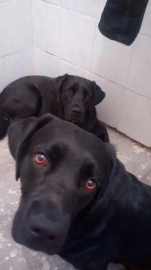 Labradores y french poodle machos