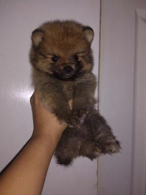 Pomeranias super minis