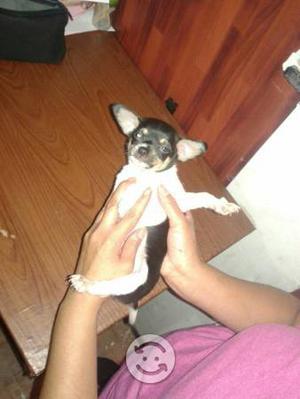perrito Chihuahua