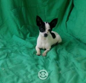Cachoerita chihuahua hembra 6 meses